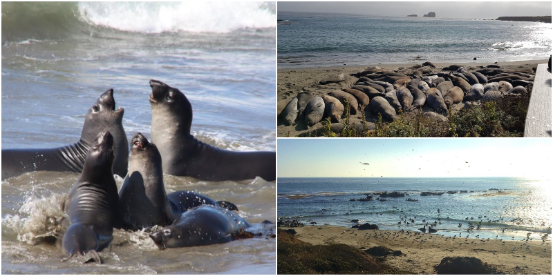 This image has an empty alt attribute; its file name is Elephant-Seal-Vista-Point1.jpg
